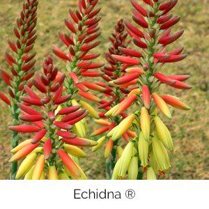 Echidna - Australias favourite marsupial