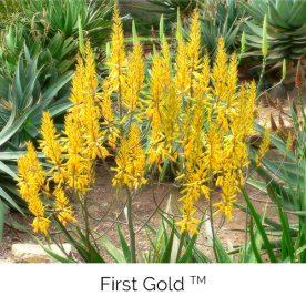 First Gold™