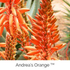 Andrea's Orange™