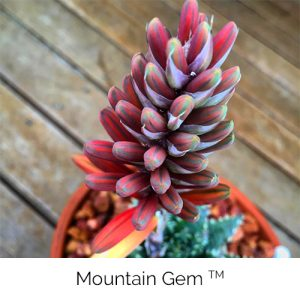 Mountain Gem - Little gem of the mountain