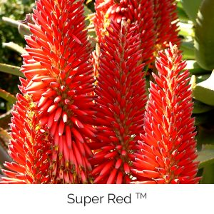 Super Red - Long lasting and bold red colour