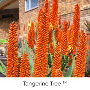 Tangerine Tree - Tangerine orange hues from the tall tree