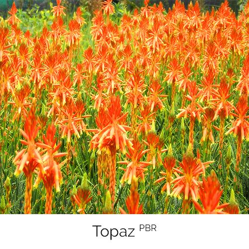 Aloe Topaz
