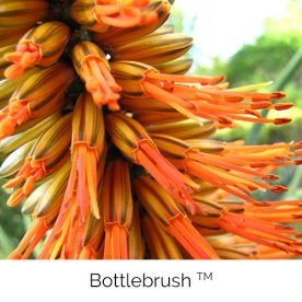 Bottlebrush™